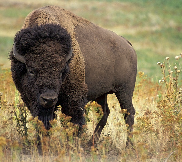 Bison Free Image No Copyright, original without common pairing with William Frog ~