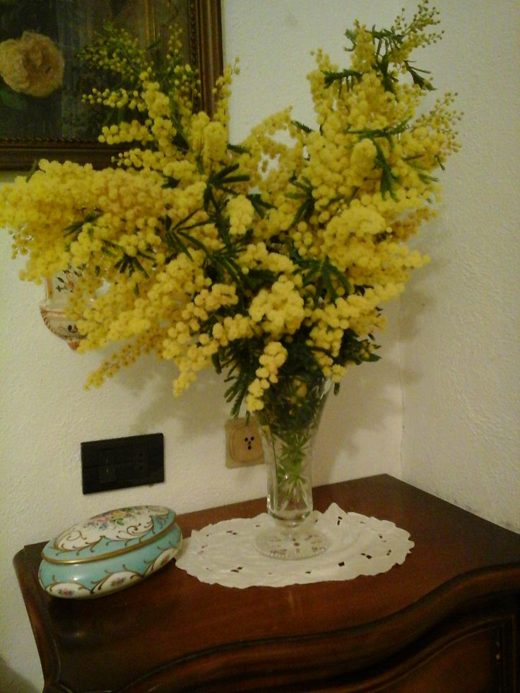 Mimose del mio giardino