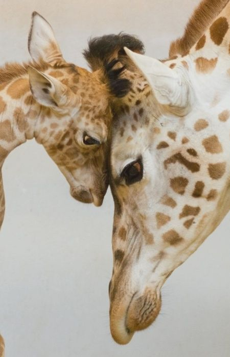 Wildlife - Touching giraffes together.