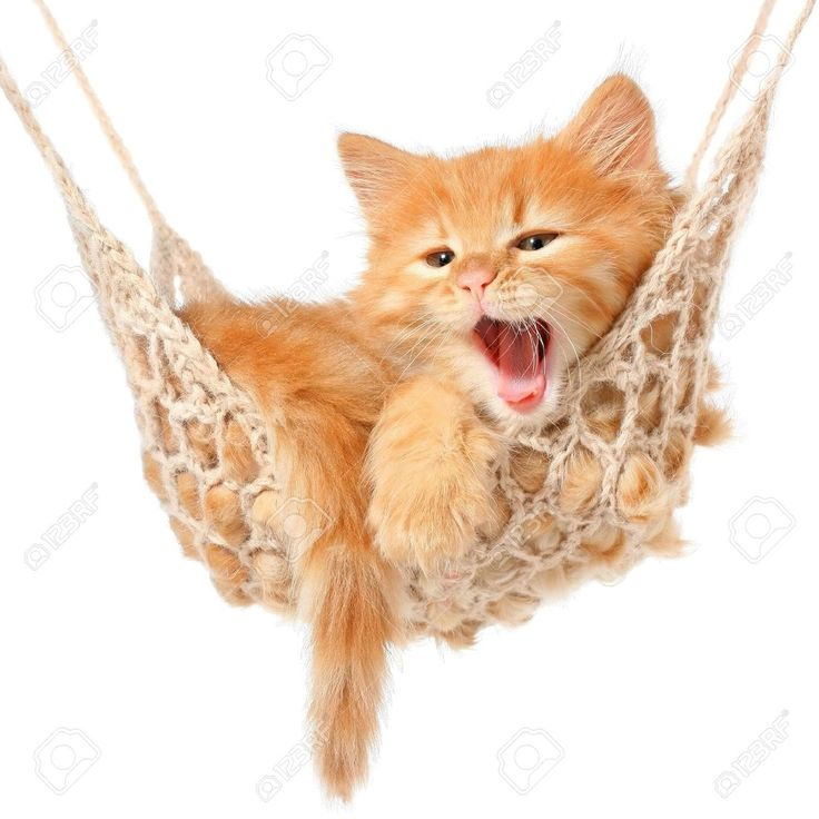 Kuvahaun tulos haulle https://previews.123rf.com/images/lugreg/lugreg1301/lugreg130100049/17689236-Cute-red-haired-kitten-sleeping-in-hammock-on-a-white-background--Stock-Photo.jpg