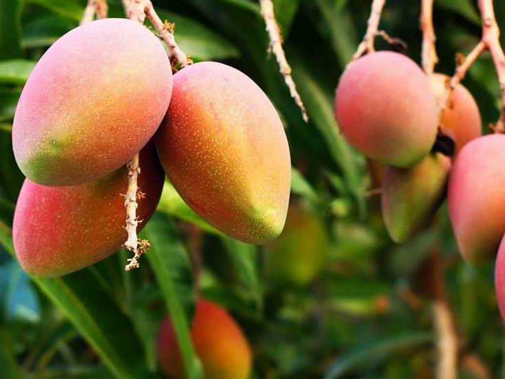 Nuestro aroma de Mango es una divertida mezcla de notas chispeantes, brillantes y azucaradas. Fondo fresco pero intenso, con matices frutales. Levanta el ánimo, aportando fuerza y energía