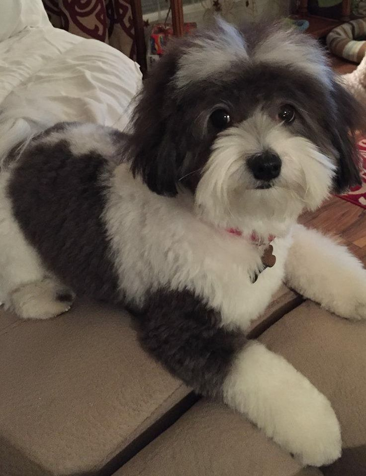 Havanese Dog Breed Information - American Kennel Club                                                                                                                                                                                 More