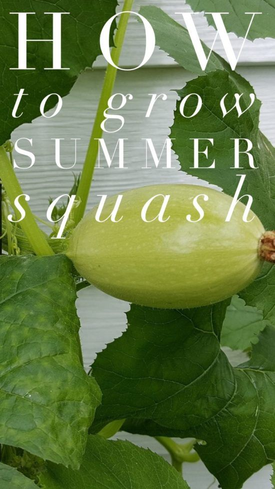Summer Squash Varieties Don't get confused with winter squash varieties. Think of yellow crookneck squash, zucchini, or pattypan and scallop squash. Summer squash is a vegetable gardening favorite,…