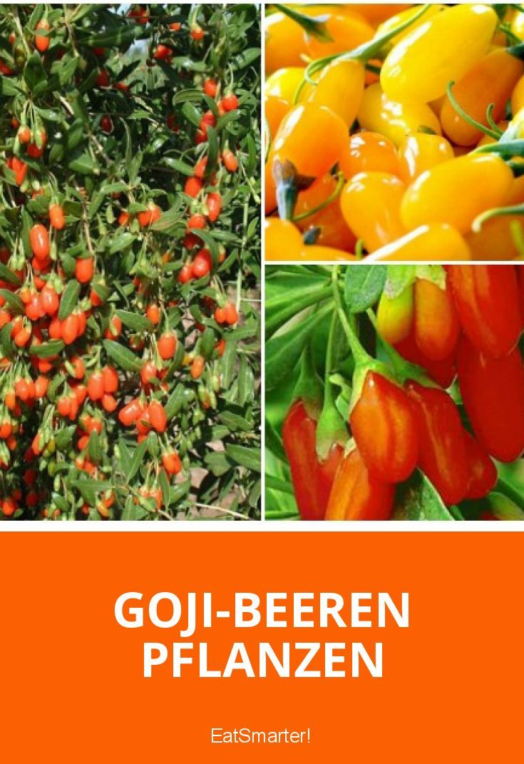 Goji-Beeren pflanzen im eigenen Garten oder auf dem Balkon – So gehts!