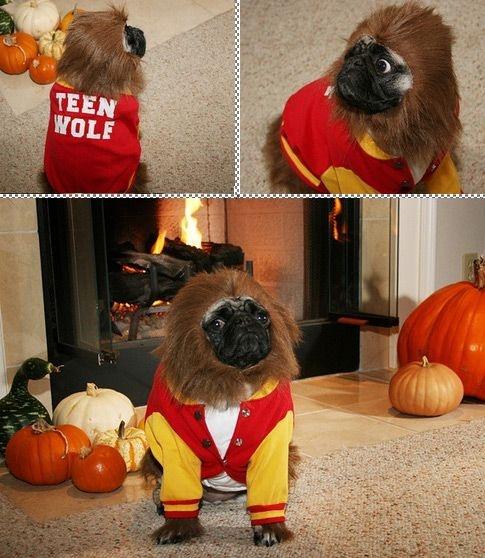 Top 10 Halloween Costumes  #3 Teen Wolf Pug for @Katie Horn