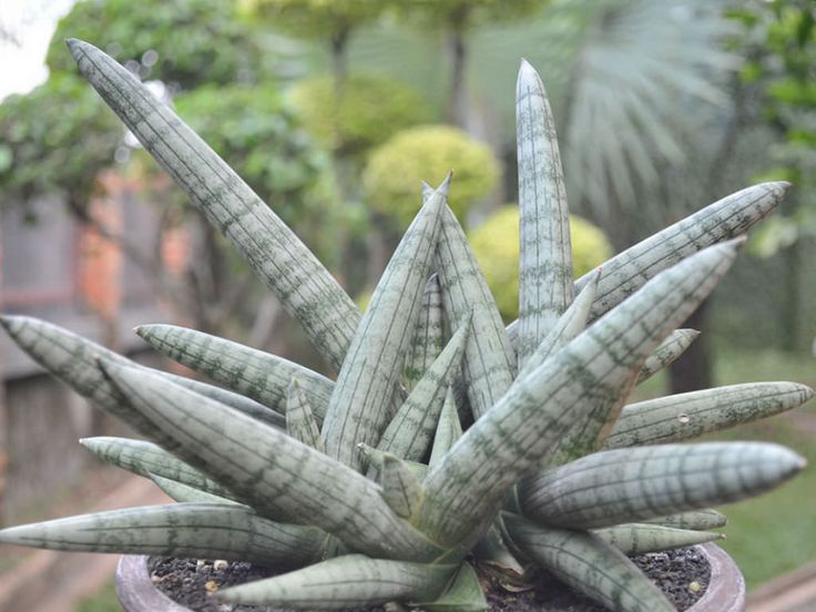 Sansevieria cylindrica 'Boncel' - Spear Orchid is a succulent plant with fat short leaves and does not grow as tall as Sansevieria cylindrica. The leaves...