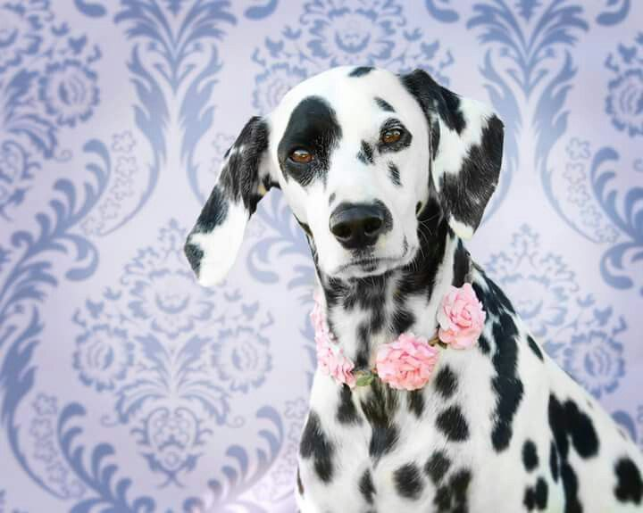 Pin By Theresa Marie On Puppy Love Dalmatian Dogs Fur Babies