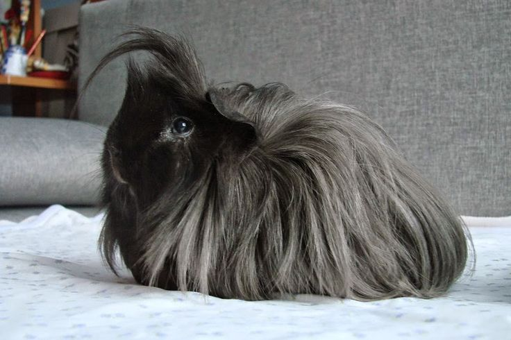 Has to be one of the most beautiful piggies I have ever seen... Love the color of his coat.