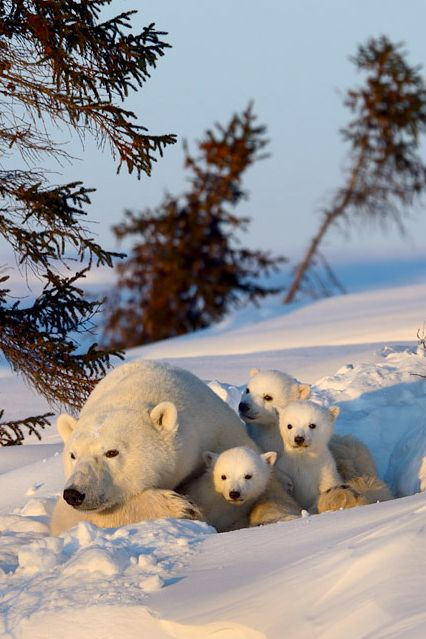#mother Polar #Bear with cubs
