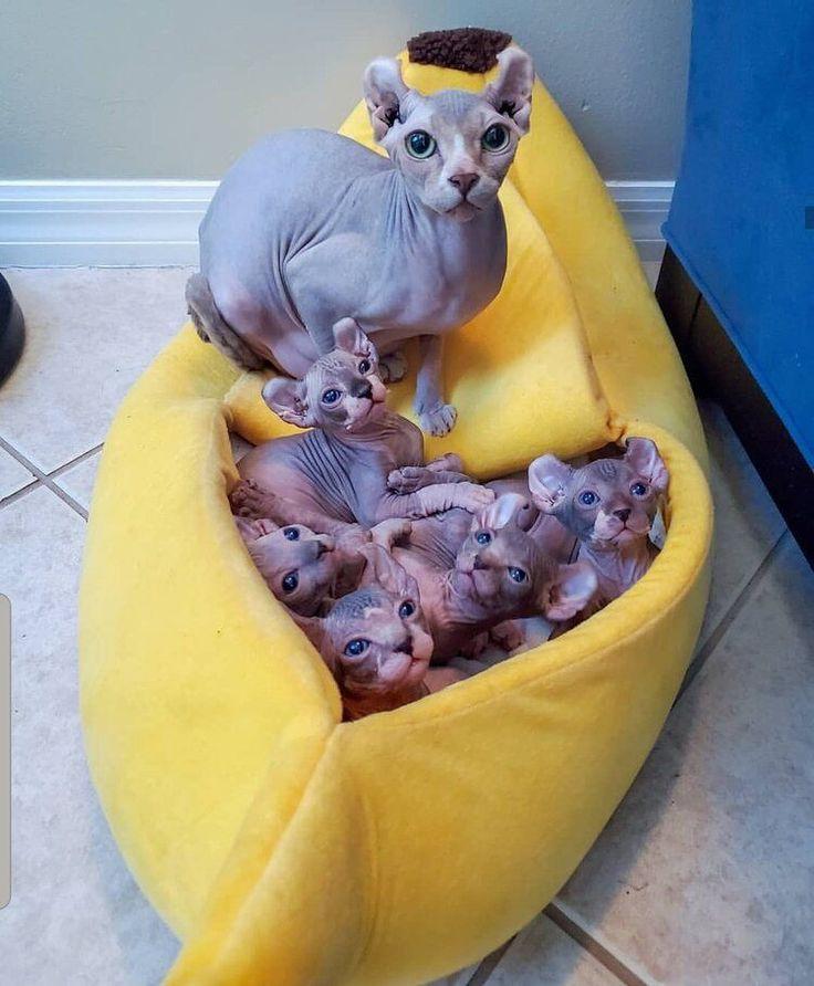 Available sphynx kittens sphynx kittens for sale