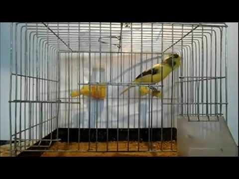 Burung Kenari Gacor Merdu, suara burung kenari, suara kenari juara yang cocok untuk melatih burung kita dirumah. kenari merupakan burung yang banyak oran