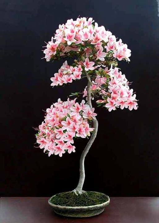 Bonsai... Look at th flowers.                                                                                                                                                                                 Plus