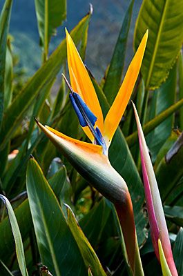 Bird of Paradise - these lined my grandmothers drive way in California. Happy memories