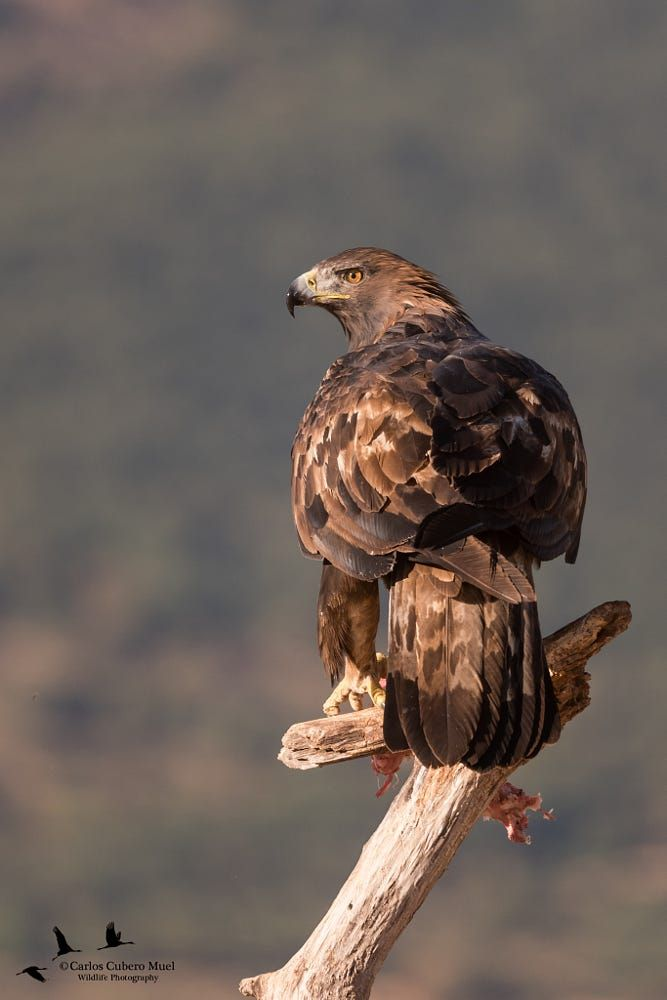 Mejores 573 imágenes de hawks en Pinterest | Aves rapaces, Animales ...