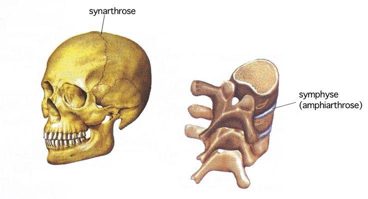Articulation fixe / immobile qui ne permet pas le mouvement; dont les surfaces articulaires sont unies, soit par du cartilage (synchrondrose), soit par du tissu conjonctif (syndesmose), soit par l…