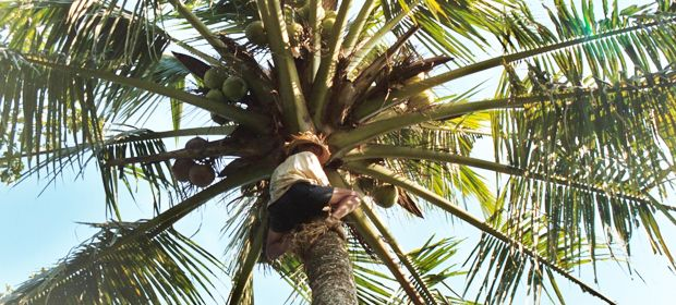 coconut: a tree for all-purposes in balinese live #baliaround