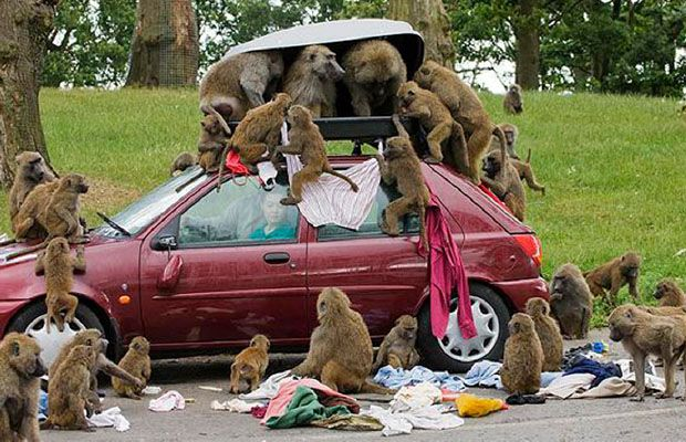 """Oh no !   The end result of ignoring a sign """"Don't feed the baboons"""""""