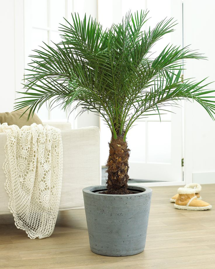 A beautiful container palm that will flourish indoors and out.