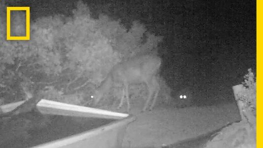 Rare Video: Cougar Pounces on Deer | National Geographic #news #alternativenews