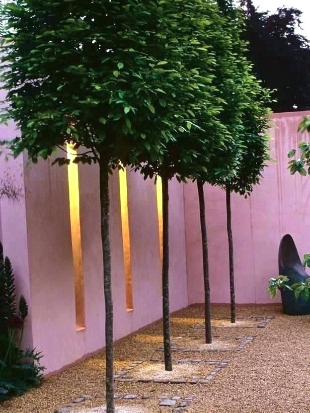 Evergreen Privacy Trees For Small Yards What Kind Of To Plant