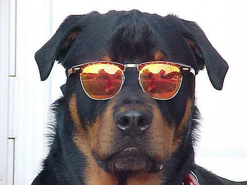 Cool dogs with sunglasses - photo#11