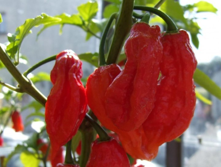 Worlds hottest chilli...found in ASSAM...!!! bhoot jolokia...