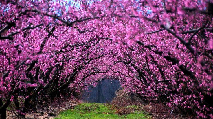 misc-spring-trees-boughs-blossoms-pink-desktop-images-1366x768.jpg (1366×768)
