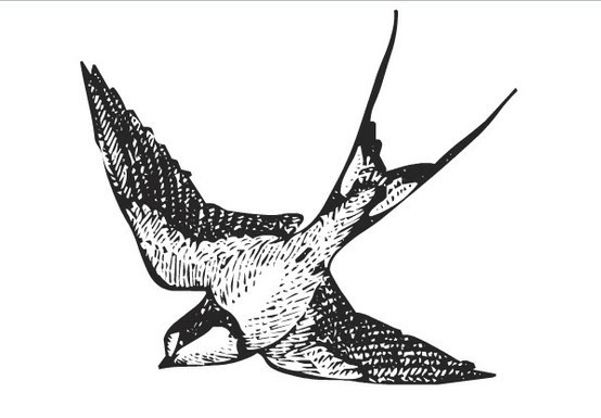 antique ink drawing of a barn swallow #tattoo  #body_art #bird #swallow body-art