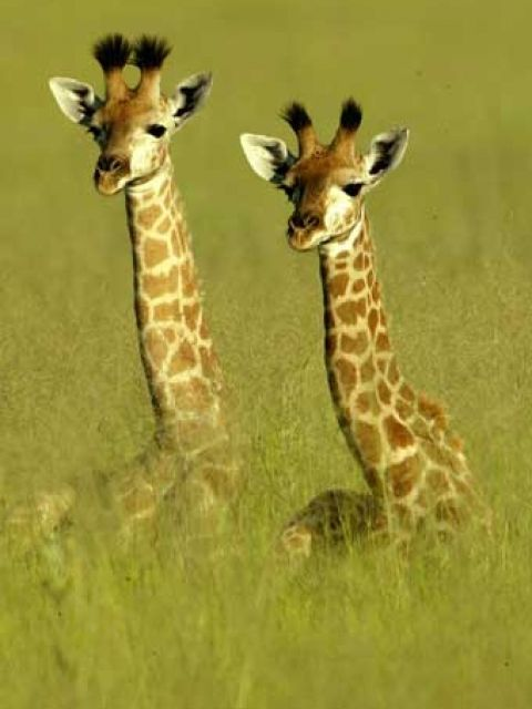 """Giraffes playing hide-and-seek in the tall grass! """"Whoo-hoo, we're over here!"""""""