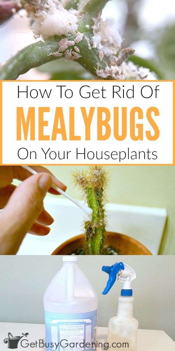 Mealybugs are soft bodied scale insects that suck the sap out of the leaves and stems of plants, resulting in stunted or deformed leaf growth, yellowing of the leaves, and leaf drop.These little white bugs look like cotton on houseplants and are tough to get rid of! Skip the toxic pesticides and use these safer mealybug control methods instead.