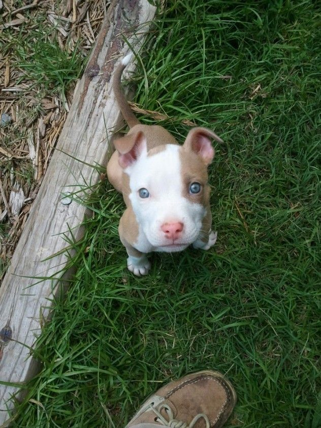 Download Cute Puppy Blue Eye Adorable Dog - d27e0b59aa02e4e1dfce9ba40d14ede6--red-nose-pitbull-puppies-pit-bull-puppies  Collection_607293  .jpg