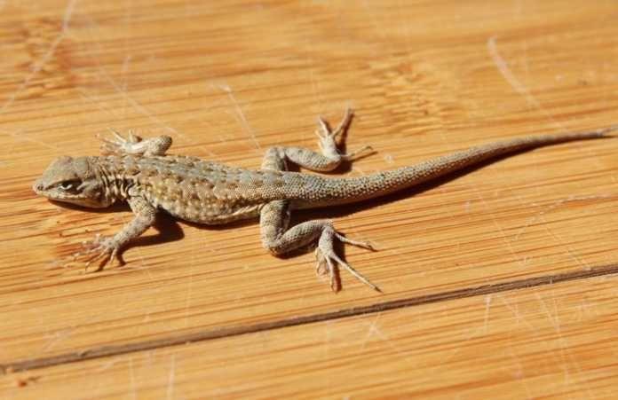 d27e521846a2becbe438d26dff827d6f - How To Get Rid Of Wall Lizards At Home