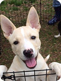 Glastonbury, CT - Shiba Inu Mix. Meet Zoe, a puppy for adoption. http://www.adoptapet.com/pet/17842336-glastonbury-connecticut-shiba-inu-mix