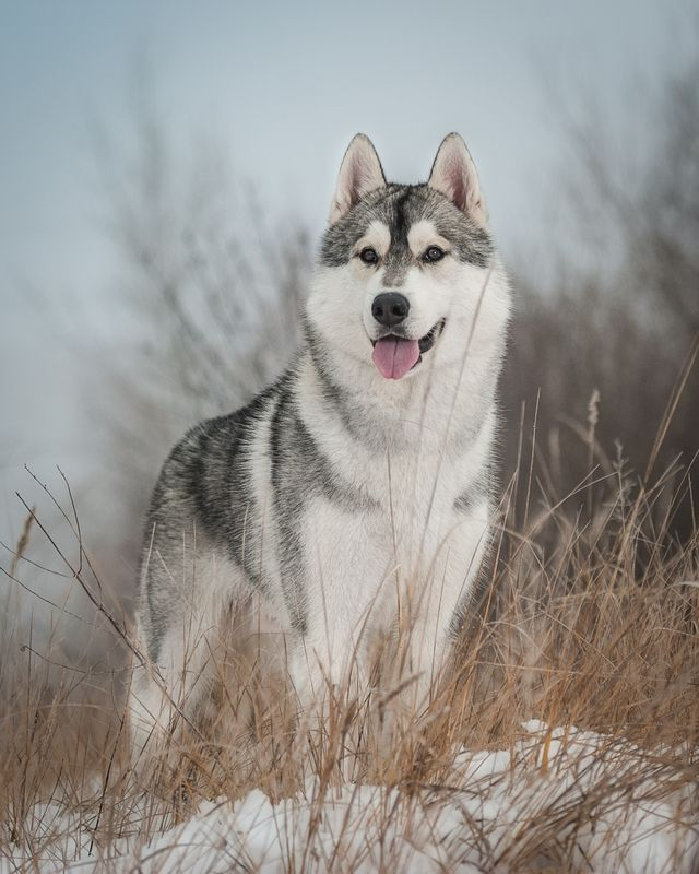 A Pomeranian husky mix is a hybrid of these two types which is popularly called Pomsky dogs. Information about the Pomsky.