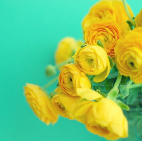gorgeous photo, love the yellow ranunculus and the turquoise background!