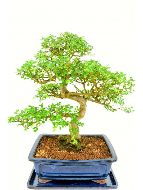 Specimen Chinese Elm bonsai for sale