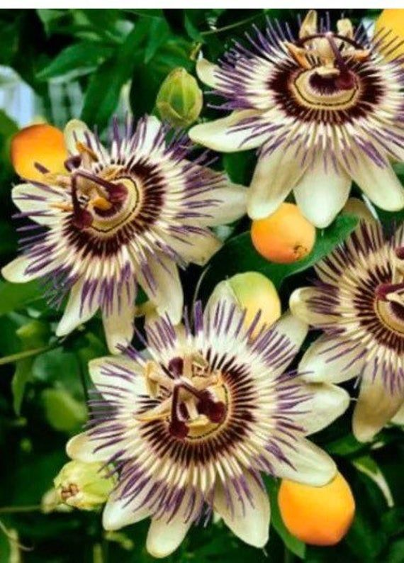 Yellow Purple Passion Flower Hybrid Seeds In 2020 Passion Flower Plant Passion Fruit Flower Flower Garden Plants