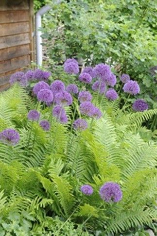 Alliums and ferns-Have to try growing alliums!!! Beautiful!!!