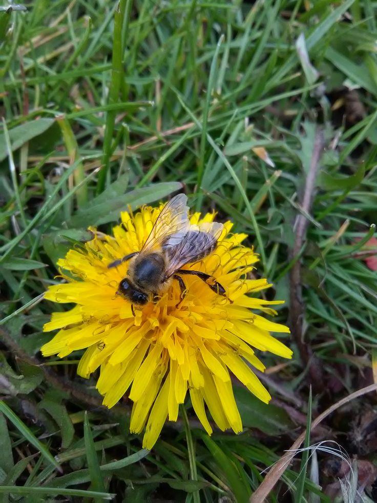 včela medonosná/apis ( u nás)