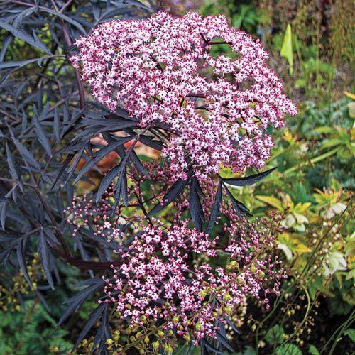 Black Lace Elderberry | Spring Hill Nurseries