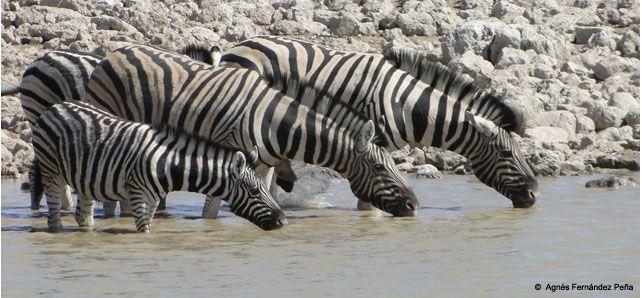 Namibia es uno de los países más jóvenes de África, una joya escondida entre el Kalahari y el Atlántico sur. Sigue siendo una última frontera para viajeros intrépidos, que aquí hallarán el rojizo desierto más antiguo del mundo, arquetípicos paisajes africanos rebosantes de animales, hermosos cielos azules sobre amplios horizontes y silenciosos parajes.  © Agnés Fernández Peña