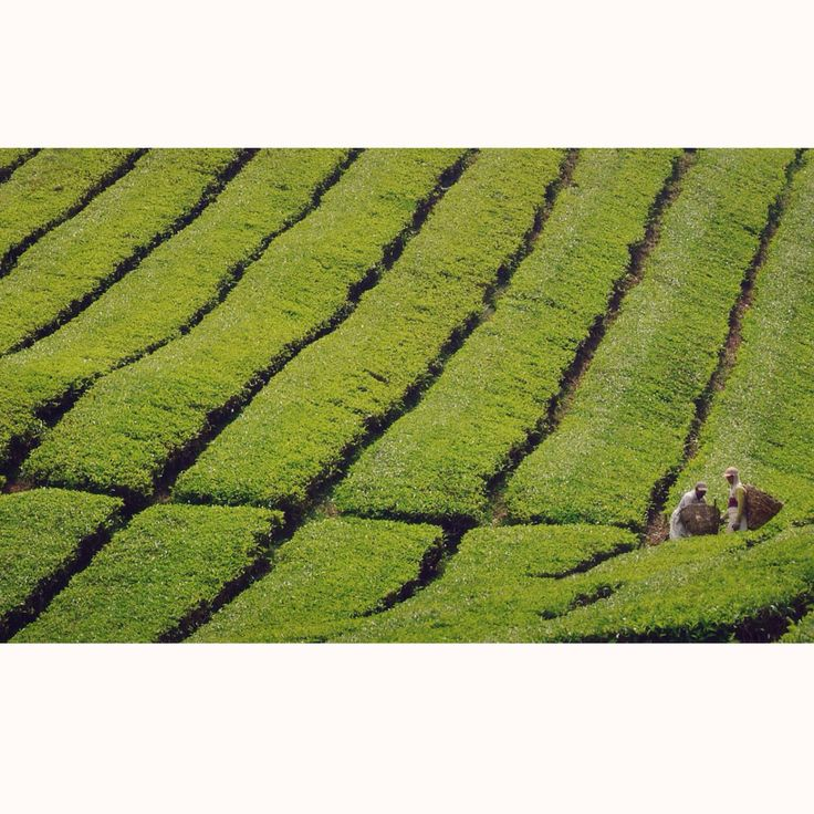 Champ de thé. Cameron Highlands, Malaisie.