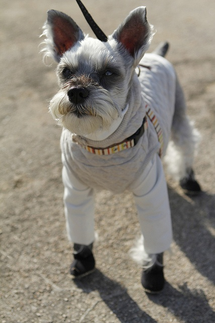 480 Best Images About Schnauzers In Clothes Costumes On