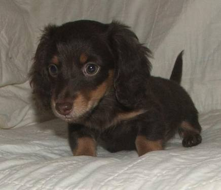 Dachshund Miniature Chocolate/Tan Long Hair Male  Ready Now!