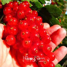 New Arrival!Red currant Fruit plant Pan-American Gooseberry seeds Lantern fruit seed sementes da fruta - 5 Seed/Pack,#7RKQK5(China (Mainland))