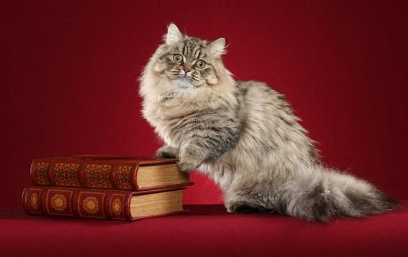 Introduction to the Napoleon Cat - the new short-legged cat breed known for its short Dachshund like legs and that sweet round baby doll fac...