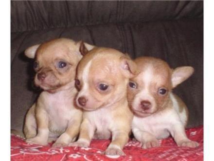 """!!!Chihuahuas¡¡¡ El Chihuahueño o Chihuahua Este """"perro"""" se origina en México y recibe su nombre por Chihuahua, (estado del mismo país), que fue el lugar donde fue descubierto y domesti…"""