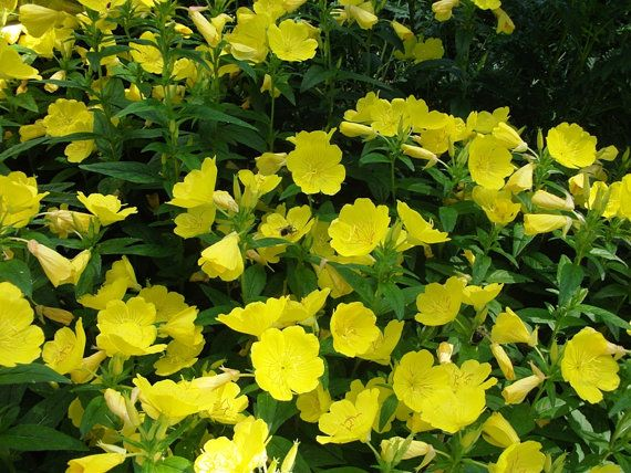 evening primrose perennial | Live EVENING PRIMROSE Plants - Rooted Plants 6 inches tall, Beautiful ...
