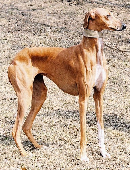 Harvinaiset koirarodut - Sivu 13 - Petsie
