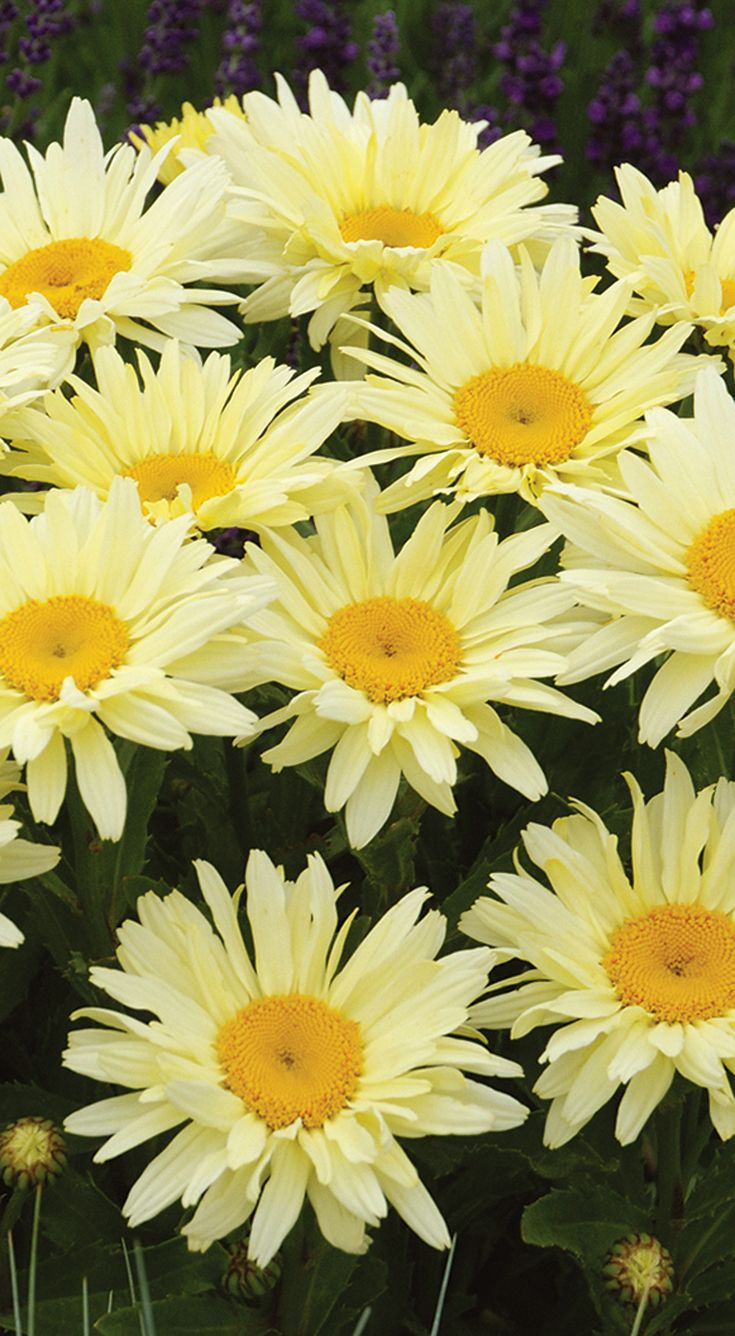 Our Amazing Daisies 'Banana Cream' has soft yellow blooms that mature to a creamy white on long stems. This perennial is hardy down to zone 5, and will delight you every year!